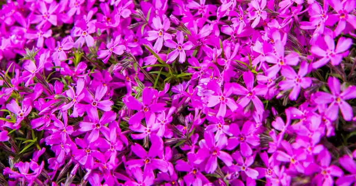 Flowering Creeping Phlox (Phlox Subulata)