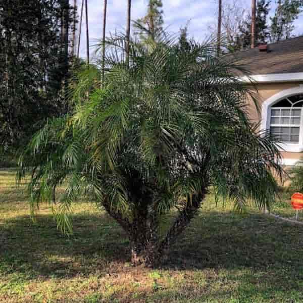 Multi trunk Pygmy Date growing in front yard