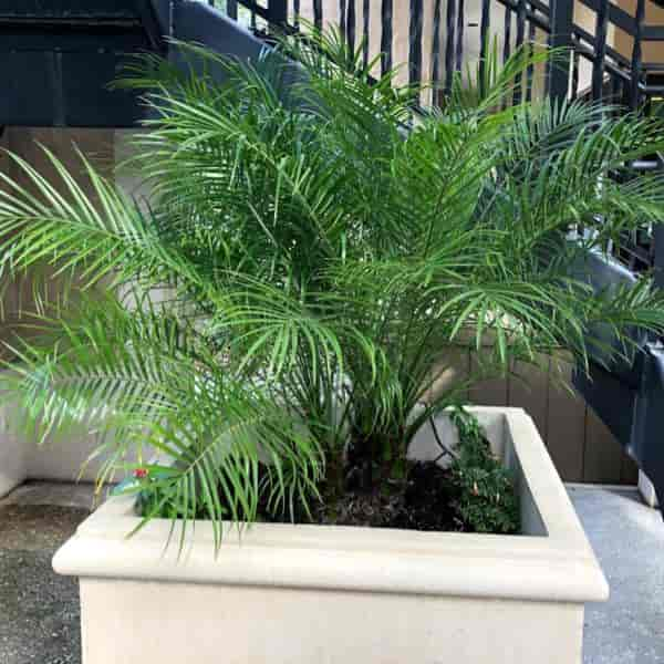 Potted Phoenix pygmy roebelenii placed hotel in stairwell Orlando Florida