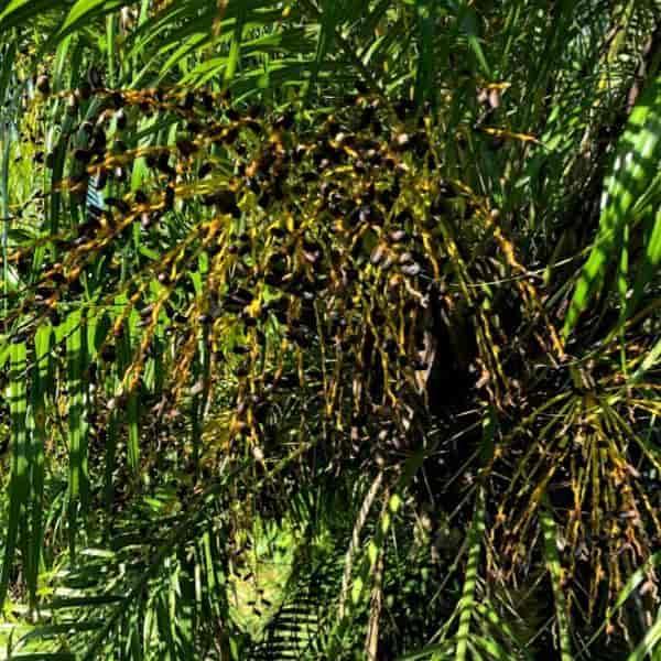 ripe black pygmy date seed