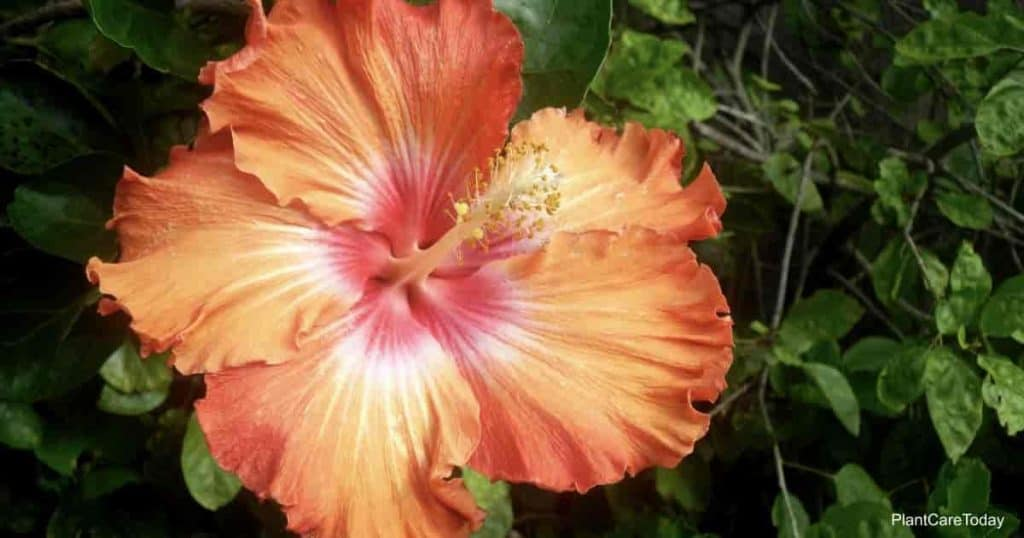 Frilly pedals of and orange Hibiscus bush