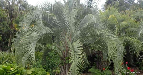 silver Butia Capitata Palm