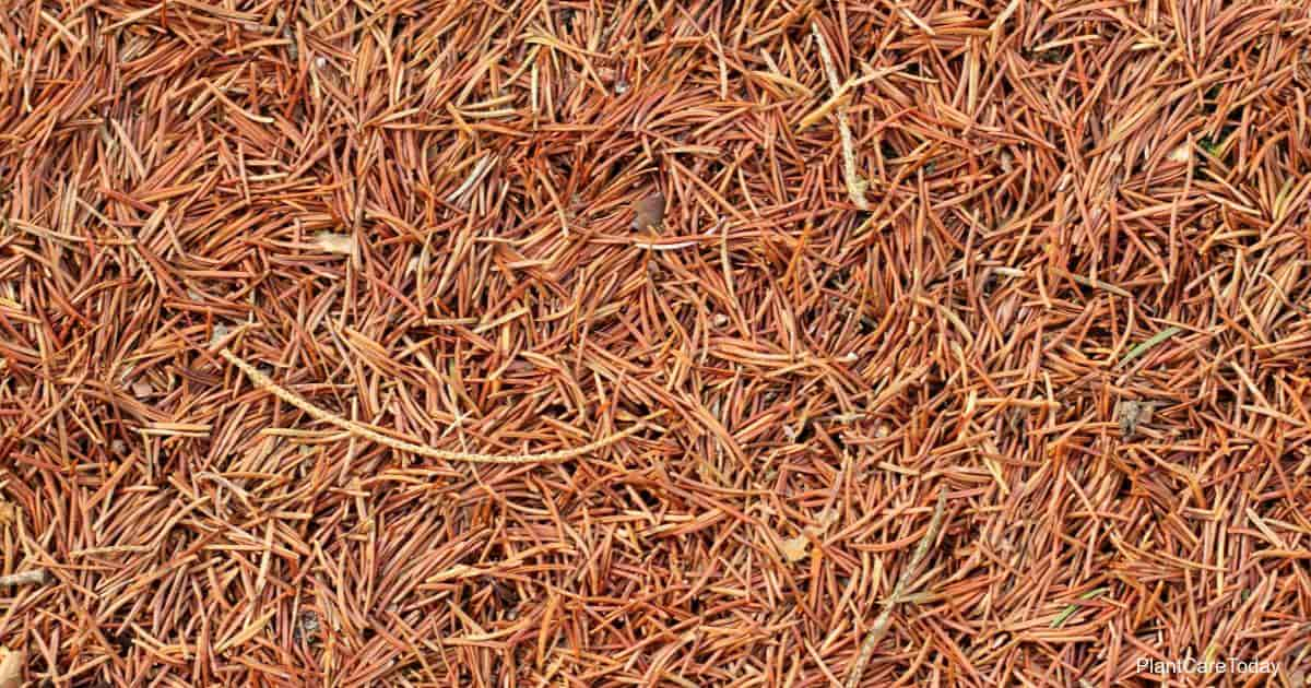 mulch from pine needles is good for acid loving plants