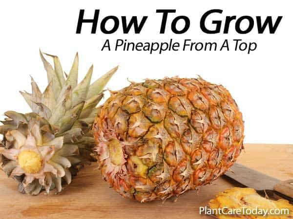 how to grow a sweet tasting pineapple from a top. Black Bedroom Furniture Sets. Home Design Ideas