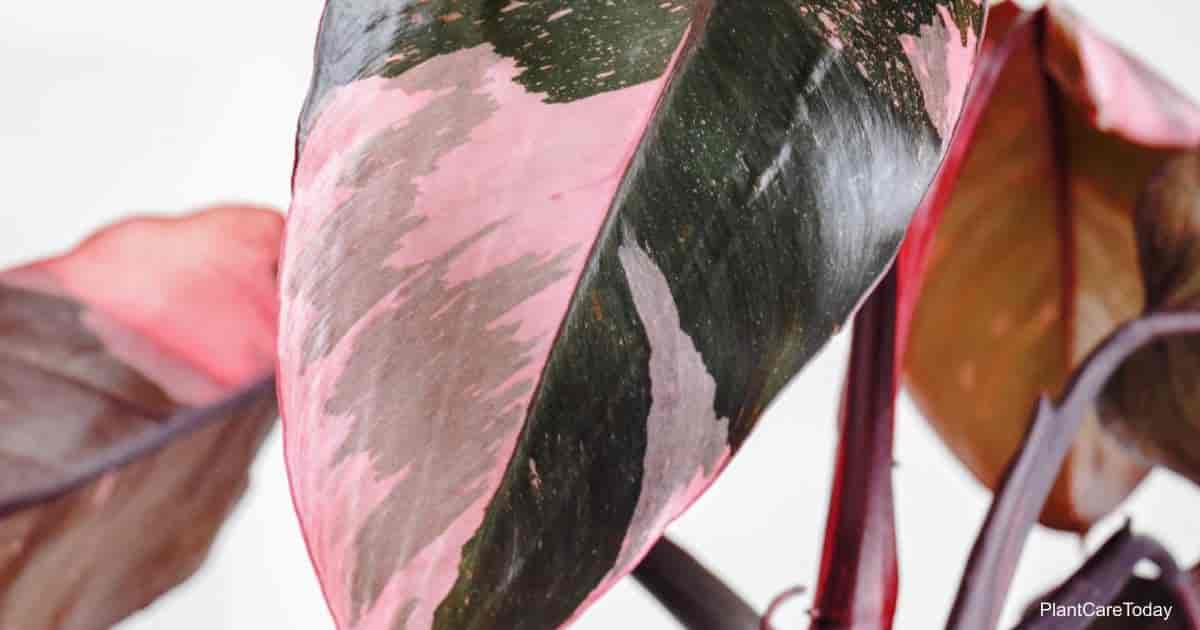 Leaf Of Philodendron Pink Princess up close
