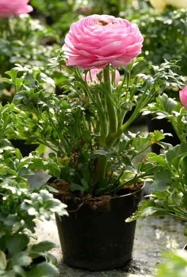 Pink Ranunculus flowering in a pot