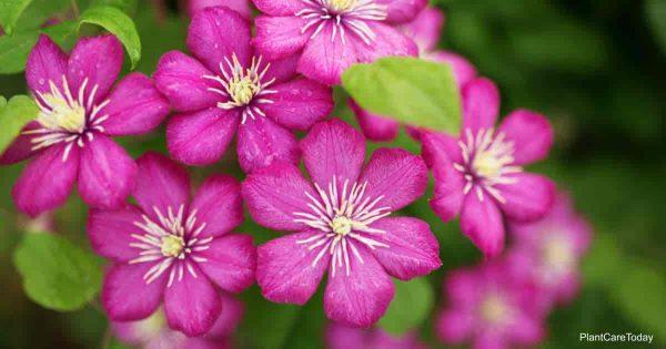Flowering Clematis
