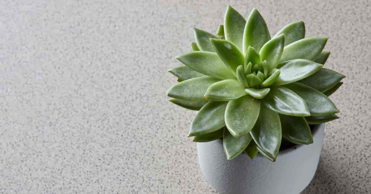 Echeveria a perfect plant for kids