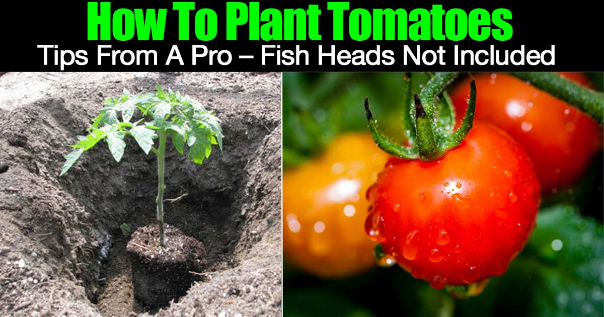 plant-tomatoes-01312016