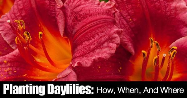 planting-daylillies-10312015