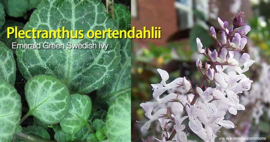 flowering Plectranthus ortendahlii