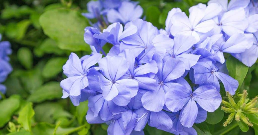 Blue flowers of the plumbago plant