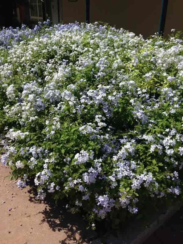 light blue plumbago use as a ground cover shrub