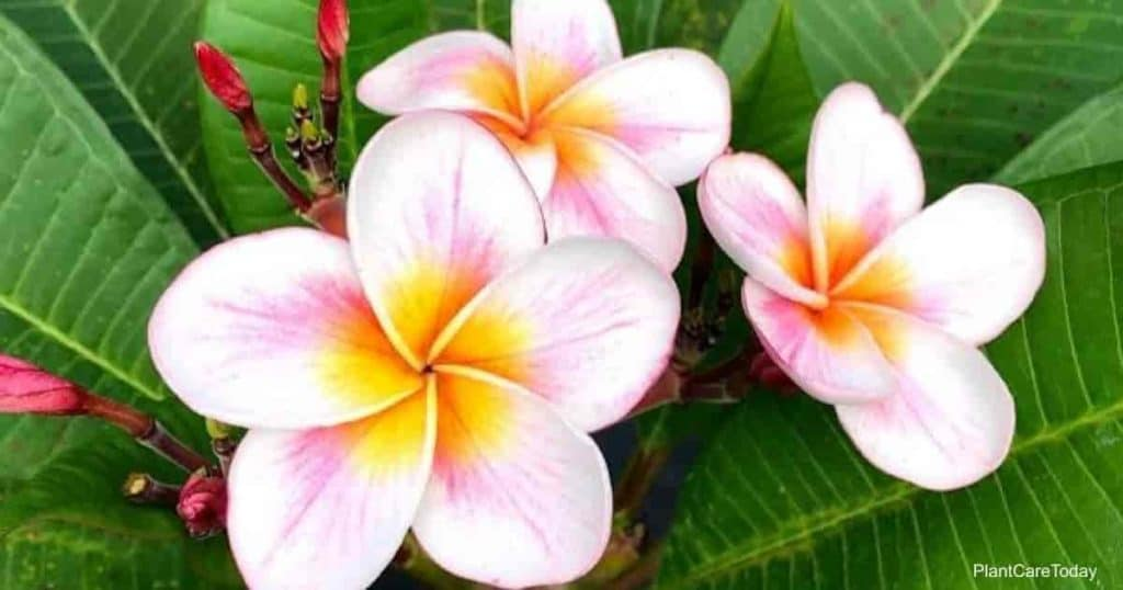 The best fertilizer with a high phosphorus levels helps create Plumeria blooms like these pink and yellow center beauties