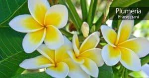 attractive Plumeria flowers