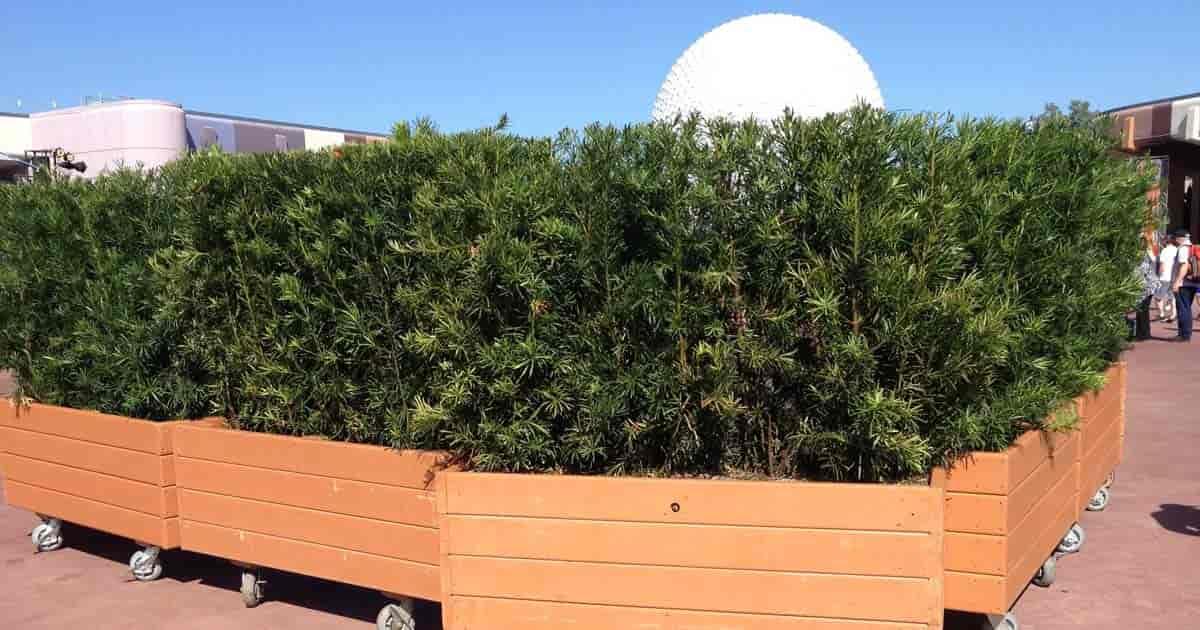 Movable Podocarps plants at Disney World EPCOT Orlando Florida