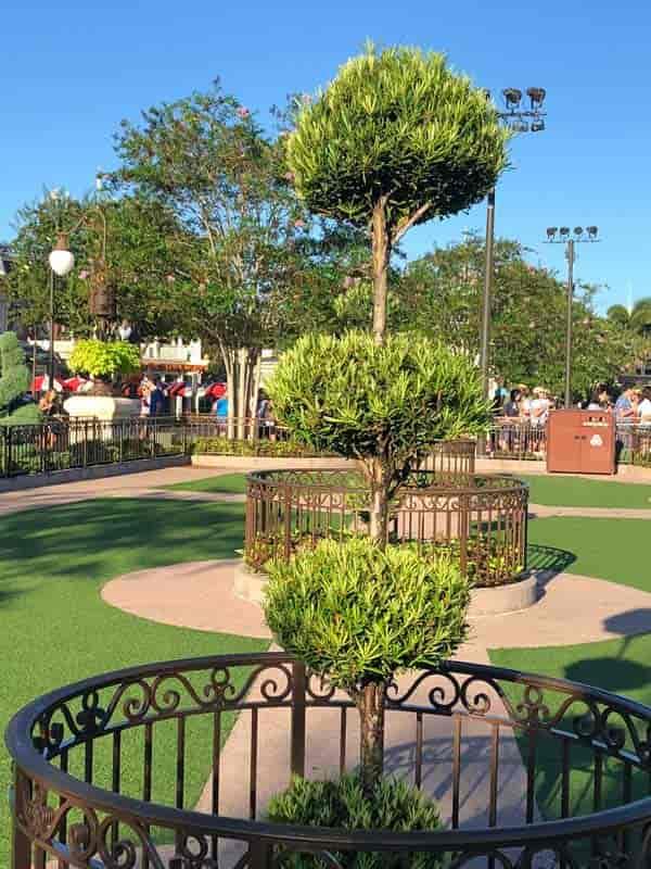 Potted podocarps sheared into topiary balls - Disney World Orlando Florida
