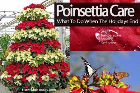 How To Care For Poinsettias What To Do When The Holidays End