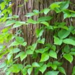How To Get Rid Of Poison Ivy, Poison Sumac and Poison Oak