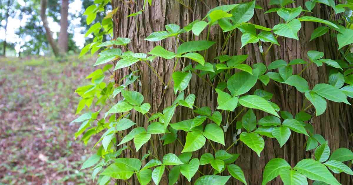 How To Get Rid Of Poison Ivy Poison Sumac And Poison Oak