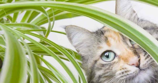 cat looking through spider plant
