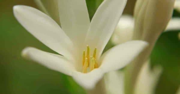 Flowering Polianthes Tuberosa (Agave amica)uberose