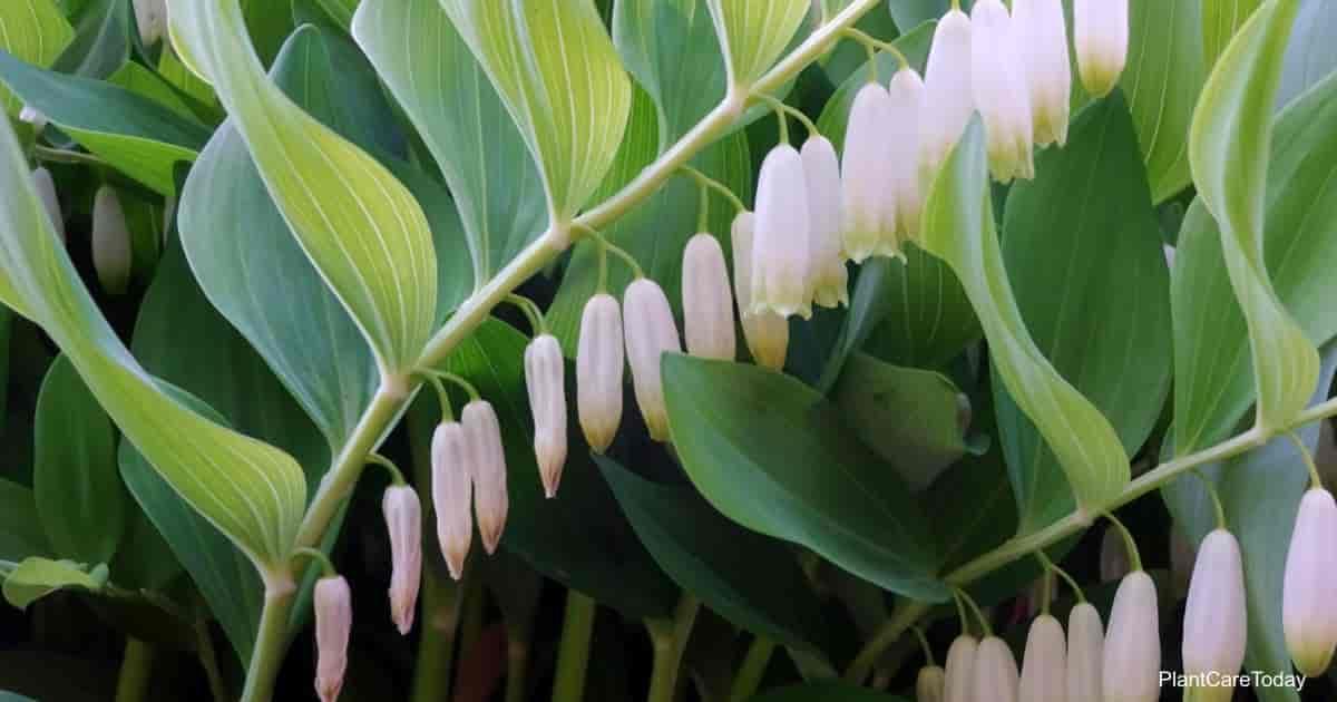 Flowers of the Solomon's Seal plant (Polygonatum Odoratum)