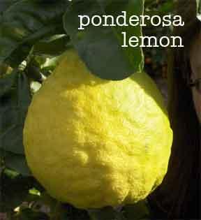rough bumpy skin of the ponderosa lemon