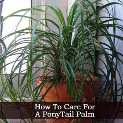 Ponytail Palm: How To Care For The Ponytail Plant