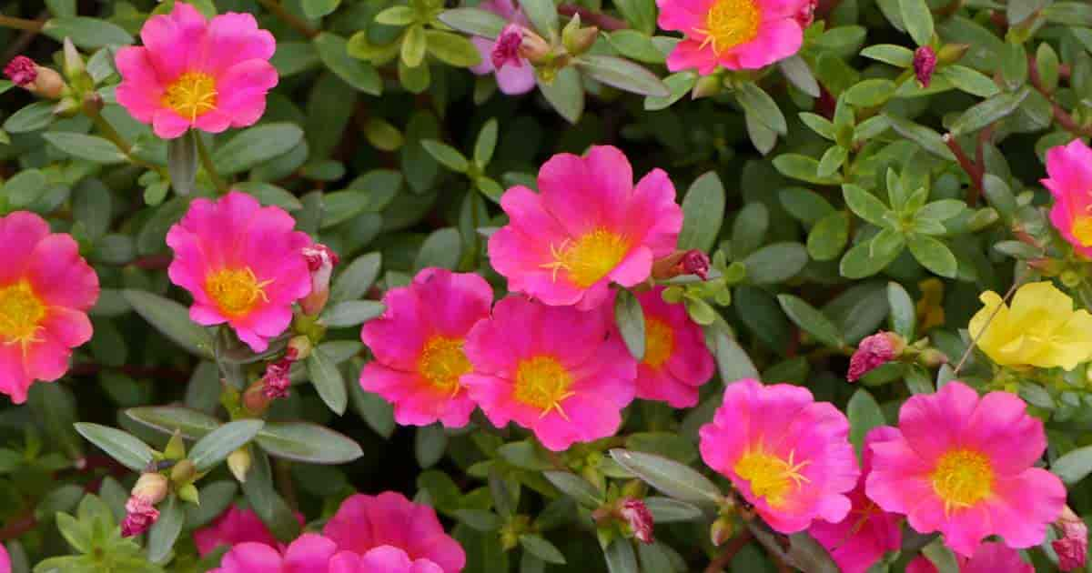 colorful flowering Portulaca (Moss rose) perfect plant for for bright sunny patios