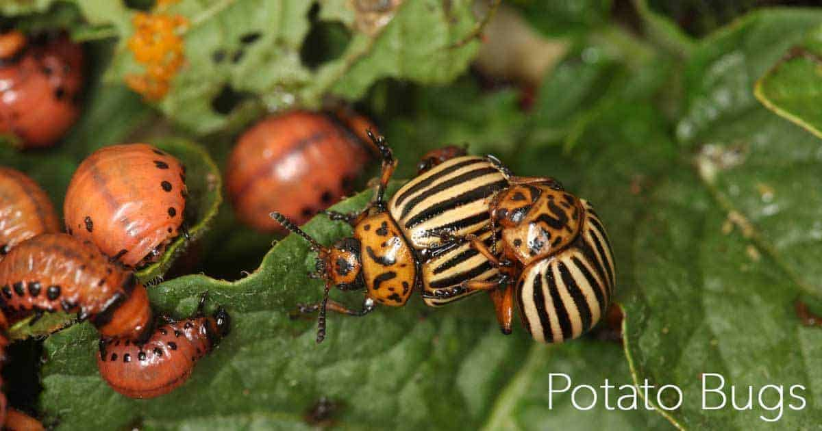 potato bugs adult and larval stage