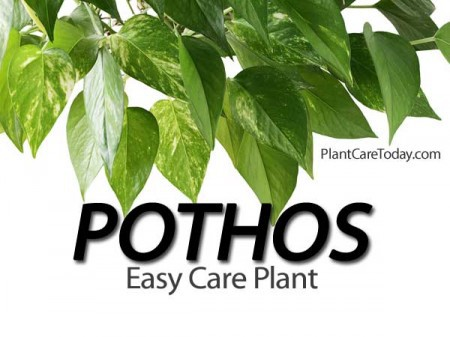 Pothos plant care for Easy to take care of plants