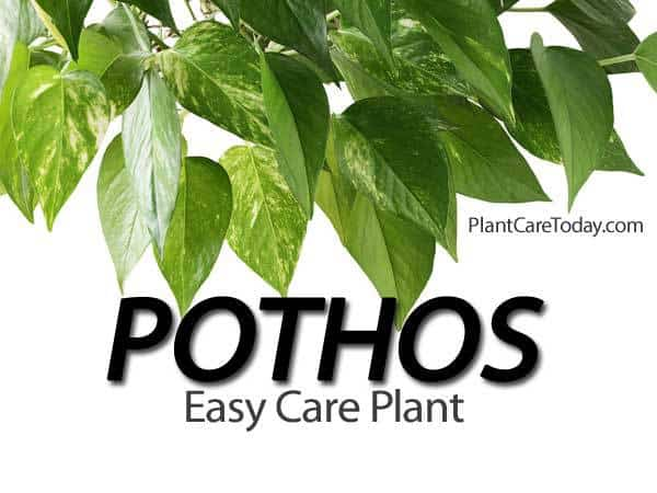 pothos plant the easy care houseplant