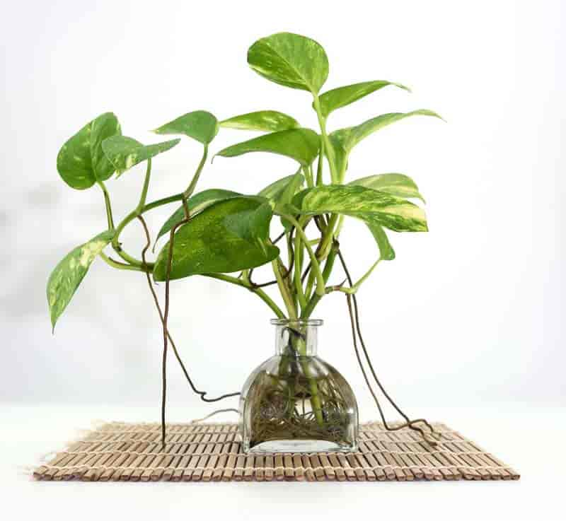 Conditions Like Cooler Temperatures Lower Humidity And Light Levels In South Florida You Ll Even Find The Pothos Growing Full Sun