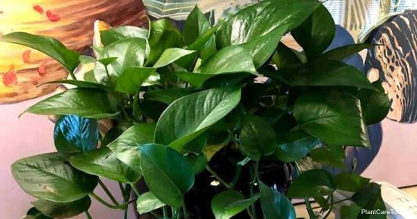 Pothos plant is a popular indoor houseplant