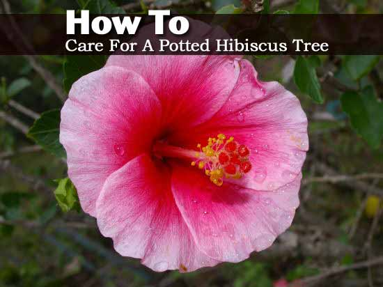 potted-hibiscus-050913