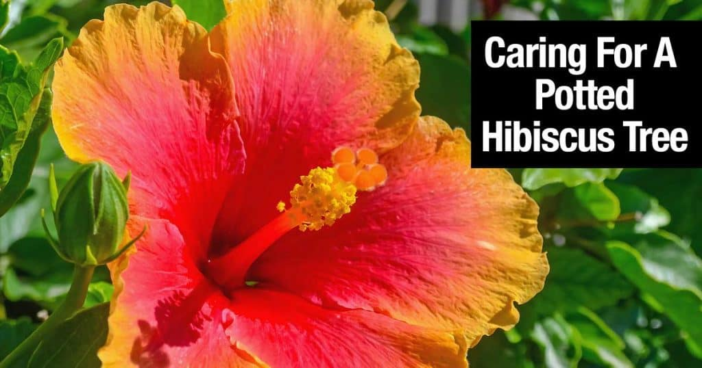 Hibiscus makes good trees for the patio