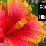 Hibiscus Tree: How To Grow And Care For A Hibiscus Plant