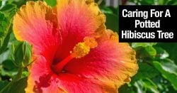 Hibiscus Tree Care: A Complete Guide To Growing Hibiscus Plants