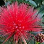 Red flower of Powder Puff - Calliandra haematocephala
