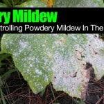 Powdery Mildew: How To Get Rid Of Powdery Mildew In The Garden
