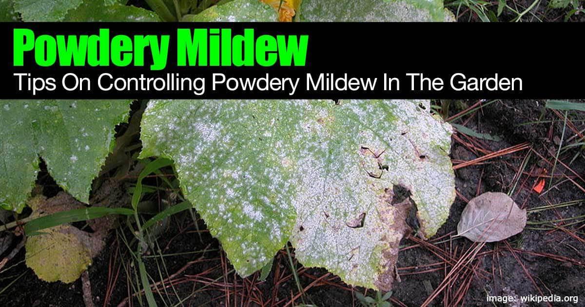 powdery mildew control