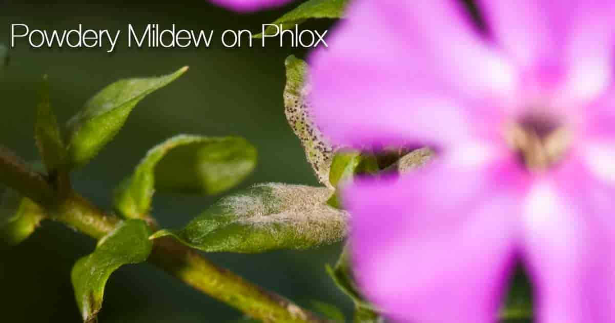 Phlox with powdery mildew
