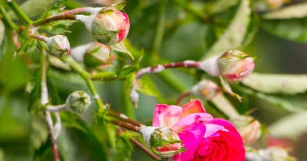 roses with powdery mildew on flower buds