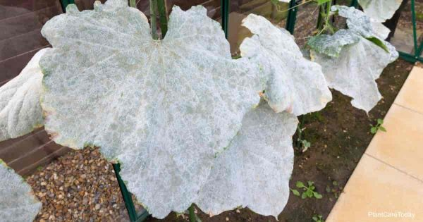 powdery mildew studied at a state university or cooperative extensive agency