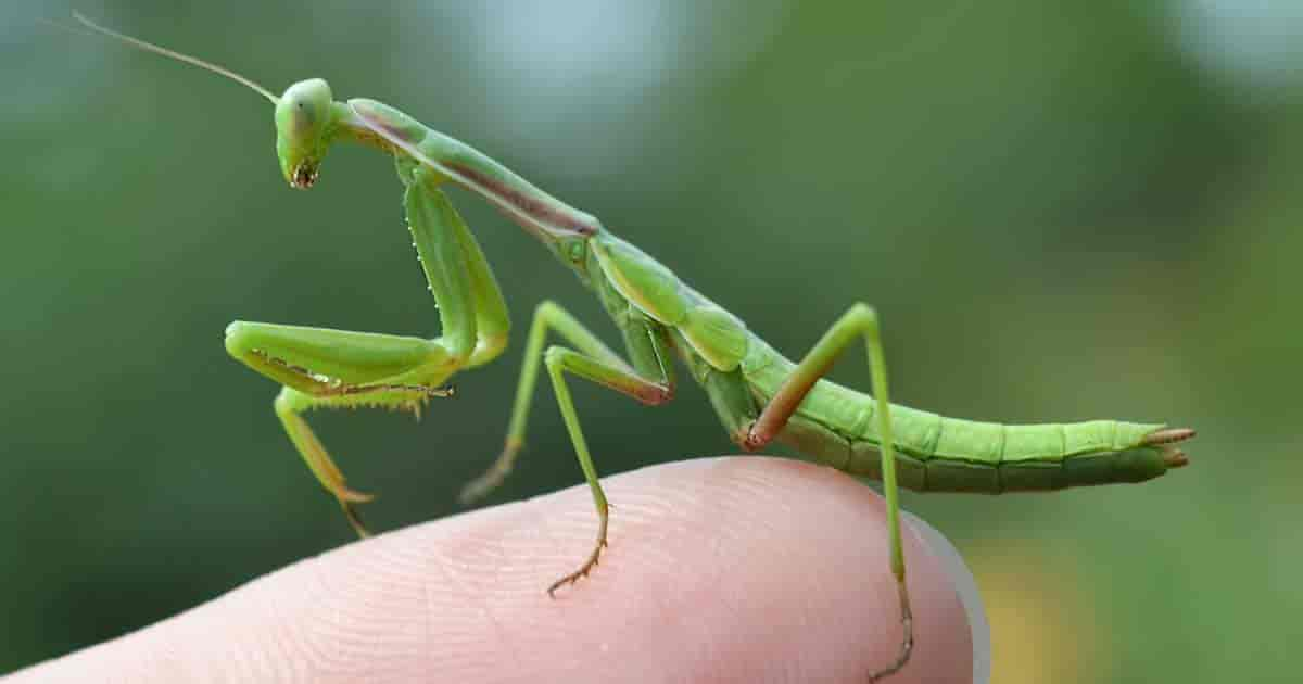 Mantis perched on a finger