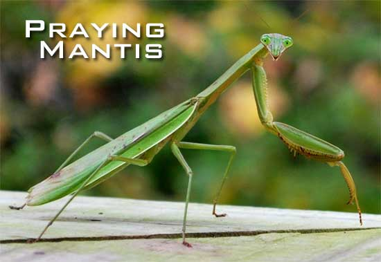 Praying Mantis sitting up and looking for its prey.