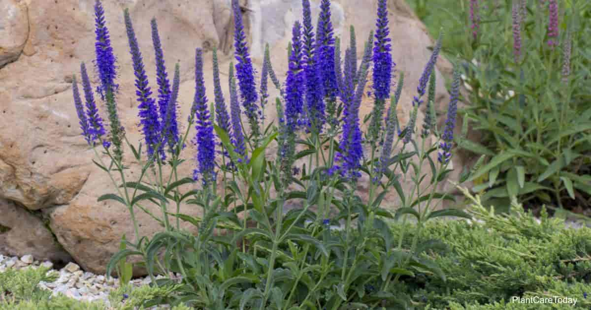 Flowering Pride Of Madeira (Echium Candicans)