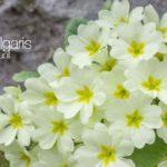Cream colored blooms of Primula Vulgaris (Primrose Plant)