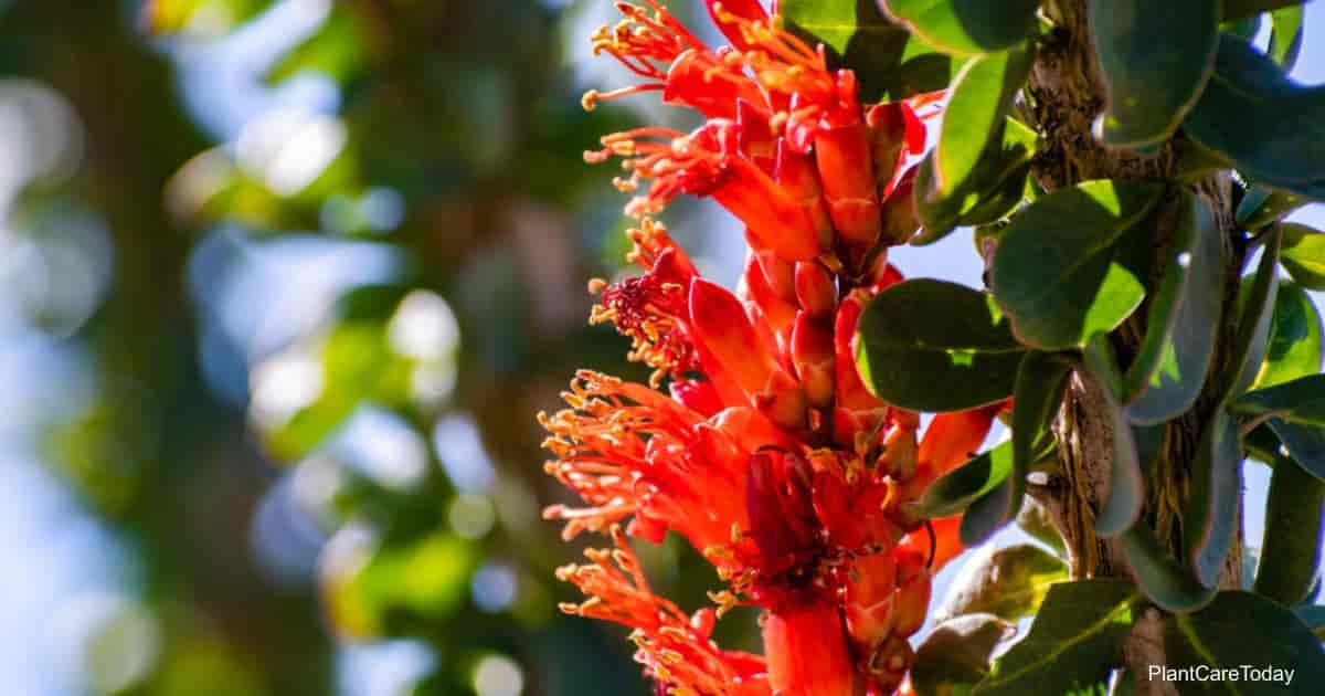 Blooms of the Ocotillo plant